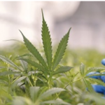 Rotronic RMS monitoring boosts medicinal cannabis growth