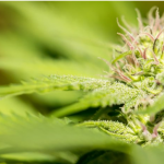 Evolve shapes guide to regulatory compliant medical cannabis production