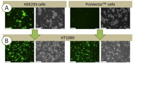 Transgene (GFP) suppression  during AV production in ProVector™ cells