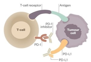 Two ways of blocking the interaction between PD-1 and PD-L1, using antibodies and thereby aiding the T cell to get activated and clear target cells