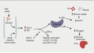 Oral glucose stimulates the release of GLP-1 and GIP to stimulate insulin release and inhibit glucagon release resulting in lower blood glucose. They are rapidly inactivated by DPP-4, with DPP-4 inhibitors prolonging the action of endogenous incretins, enhancing initial insulin response.