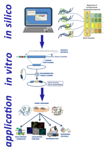 Figure-1: Workflow for biodesign, bioengineering and refactoring for the realization of biochemical gene clusters, heteroprotein complexes or signalling pathways and many more. The planning phase of a functional biodesign is of highest importance and priority. From the very beginning these projects are starting best with explorative genome analyses in silico, e.g. for the identification and characterization of new natural pathways for specific classes of natural compounds a customer company might be interested in. The genome of a target organism combined with research in literature also can give highly valuable information about the requirements of regulatory sequences and functional building blocks to be be used. Of highest importance are the codon bias determining the ribosomal kinetics of genes. After this phase the iterative refactoring of natural pathways towards it's in vivo activation or the expression improvement in the homologous or a heterologous host can start and the the biodesign can be relized.
