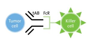 Figure 1: Basic ADCC Mechanism