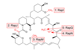 "Sequence of ""tailoring"" steps that convert unbound prerapamycin into rapamycin"