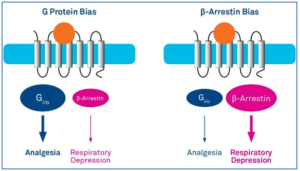 Figure 1: Biased Ligands Preferentially Signal Through The G Protein or The β-Arrestin Pathway.  (Adapted from S.Spangler and M.R.Bruchas, Tuning biased GPCR signaling for physiological gain. Cell 171, 989-991 (2017) )