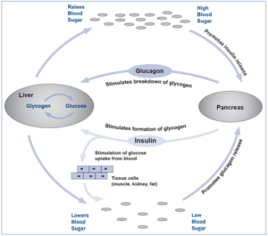Figure 1: Opposing Effects of Glucagon and Insulin (Source: Bachem Product Monograph – Diabetes Peptides, August 2019)