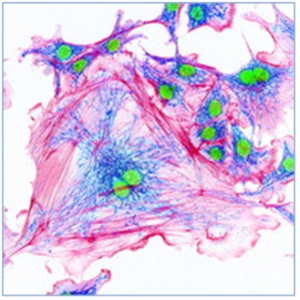 Confocal of related endothelial cells