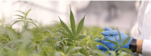 Environmental monitoring is important for healthy and strong cannabis plant growth.
