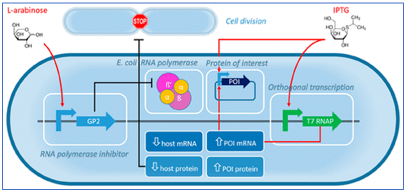 Research study on phage-inspired growth decoupled recombinant protein production in Escherichia coli
