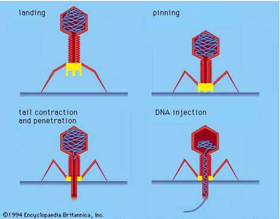 Phage Consultants guide to bacteriophages