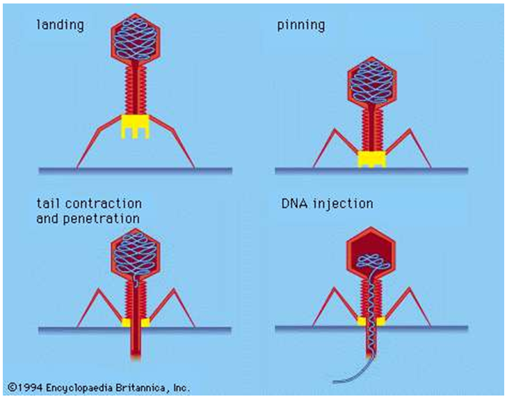 Phage testing and therapy from Phage Consultants