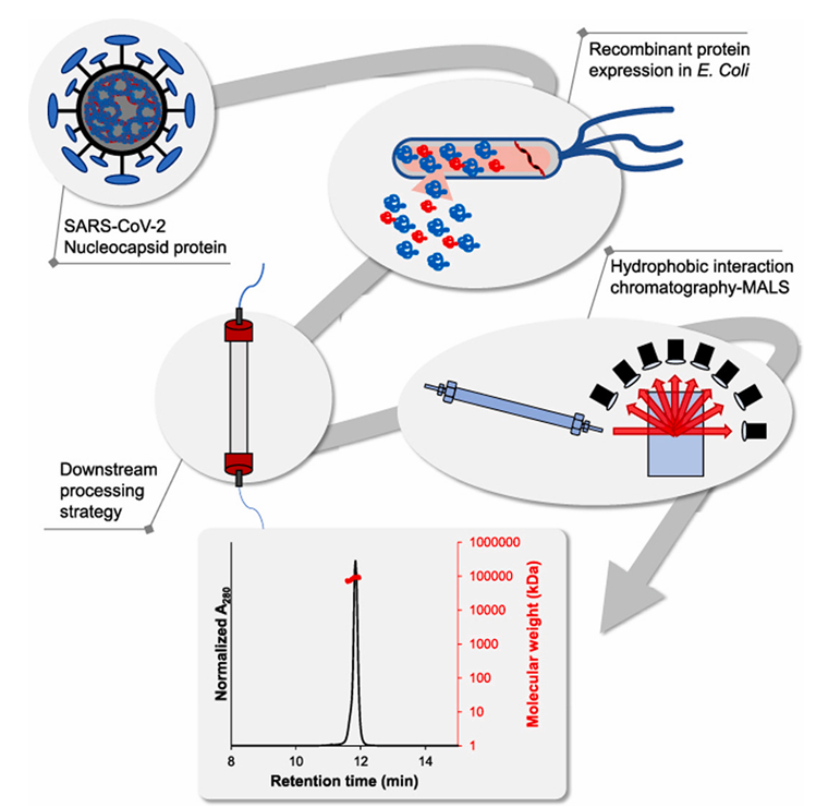 enGenes X-press achieves high yield SARS CoV-2 nucleocapsid protein expression